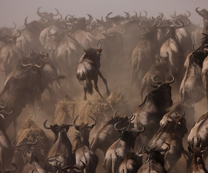 Herd of Wildebeest during the Great Migration