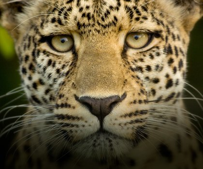 Kruger National Park Destination Leopard